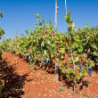 Rows of Grape Vines in Vineyard — Stock Photo #2384307
