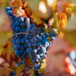 Stock Photo: Vineyard on autumn