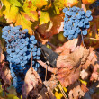 Vineyard on autumn — Stock Photo