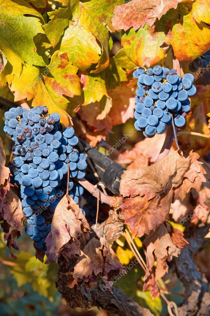 Close up vineyard on autumn  Stock Photo #2384398