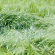 Green wheat ears close up at spring — Stock Photo #2478911