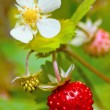 Closeup of a wild strawberry — Stock Photo