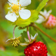Closeup of wild strawberry — Stock Photo #2478943