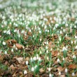 Spring wood full of snowdrops - Stock Photo