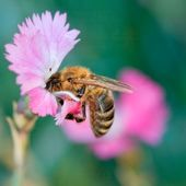 Bee on flower — Stock Photo