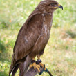 Stockfoto: Predator on falconer stand