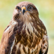 Detailed portrait goshawk — Stock Photo