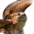Portrait of hawk — Stock Photo #2542169