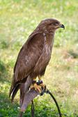 Predator on falconer stand — Stock Photo