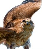 Portrait of hawk — Stock Photo