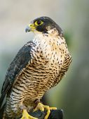Portrait of falcon — Stock Photo