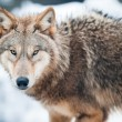 Wolf (lat. Canis lupus) - Stock Photo