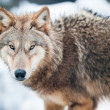 Stock Photo: Wolf (lat. Canis lupus)