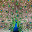 Stock Photo: Peafowl plumage (lat. Pavo cristatus)