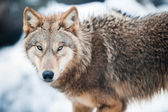 Wolf (lat. Canis lupus) — Stock Photo