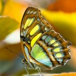 Stock Photo: Malachite butterlfy