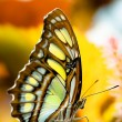 Malachite butterfly — Stock Photo