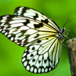 White tree nymph butterfly — Stock Photo