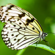 White tree nymph butterfly — Stockfoto