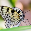 White tree nymth butterfly — Stock Photo