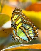 Malachite butterlfy — Stock Photo