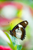 Orchard swallowtail butterfly — Stock Photo