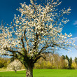 Blossoming chery tree in spring — Stock Photo