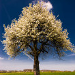 Blossoming Tree in Spring — Stock Photo