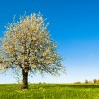 Stock Photo: Cherry tree in spring