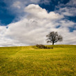 Lonely Tree on field — Stock Photo