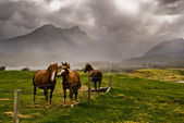 Horses awaiting storm — Stock Photo