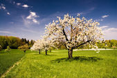 Blossoming Trees in Spring — Stock Photo