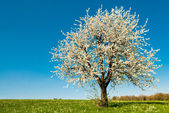 Cherry tree in spring — Stock Photo