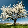 Stock Photo: Blossoming Tree in Spring