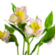 Stock Photo: Bouquet of lillys