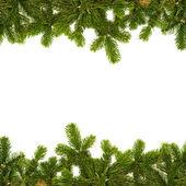 枞树枝帧 — 图库照片