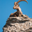 Alpine ibex — Stock Photo #2349328