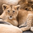 Baby lion — Stock Photo #2349375