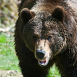 Stock Photo: Brown bear (lat. ursus arctos)