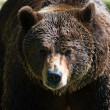 Brown bear (lat. ursus arctos) — Stock Photo
