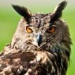 Stock Photo: EurasiEagle Owl