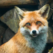 Red fox — Stock Photo #2349795