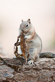 Uintah Chipmunk — Stock Photo