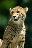 Všímavý gepard. — Stock fotografie