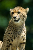 Observant cheetah. — Stock Photo