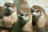 Group of otters — Stock Photo