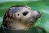 Harbor seal — Stock Photo