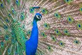 Male Indian Peafowl — Stock Photo