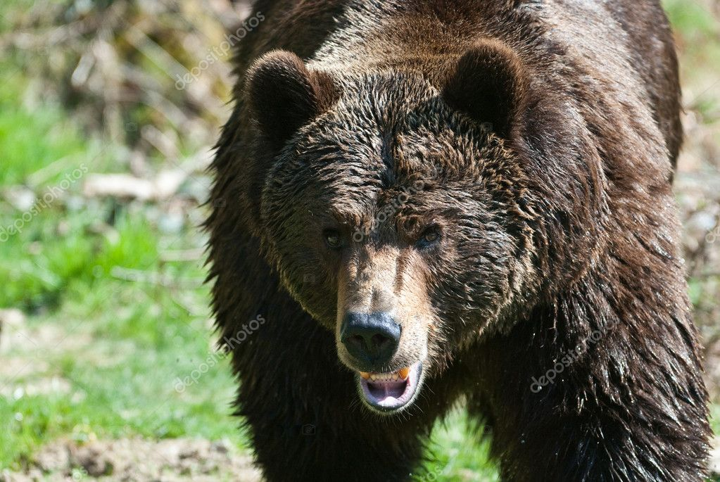 Brown bear (lat. ursus arctos) walking towards the camera  Stock Photo #2349527