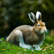 Mountain hare - Stock Photo